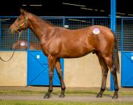 Lot 154 Canford Cliffs x Afterburn Colt Blue Gum Farm Ryan Balfour-40.jpg