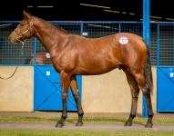 Lot 154 Canford Cliffs x Afterburn Colt Blue Gum Farm Ryan Balfour-41.jpg