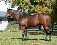 Jindera Park Sires for Sale