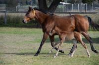 Chocolicious Has A FRANKEL Filly Southern Hemisphere Time!
