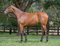 Lot 361 Olympic Glory x Distant and lovely Yearling Filly Secured At Inglis Classic Sales 2018