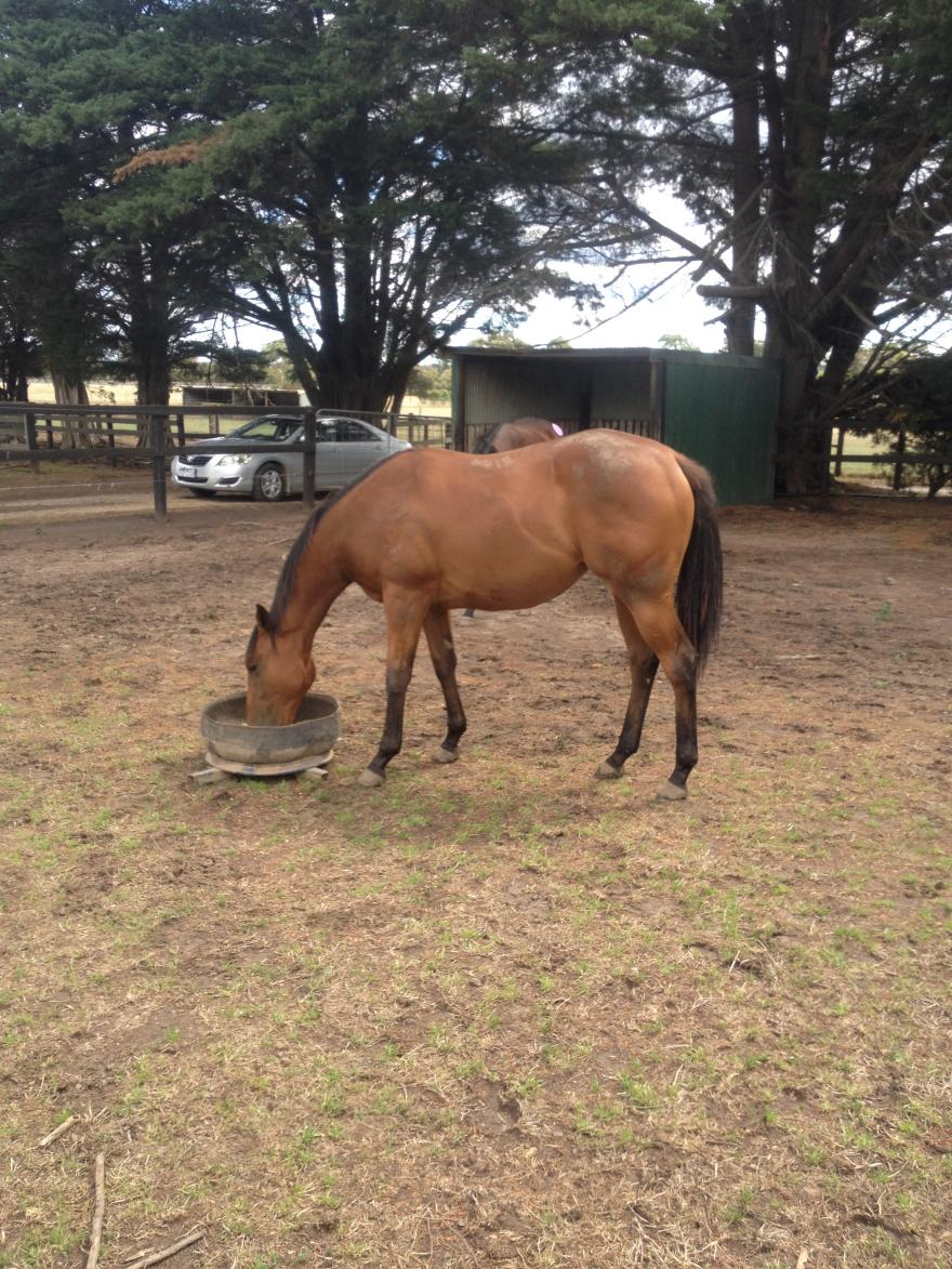 Yearling Update - HINCHINBROOK Filly