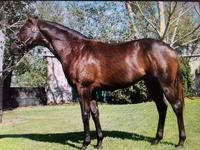 Inglis 2015 Australian Easter Yearling Sale- Lot 207 So You Think (NZ) x Staten Island (NZ)