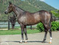 ​2017 Magic Millions Gold Coast - Lot 594 The Factor x Zugat