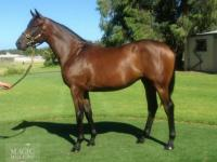For Sale: War Chant / Hot Tamale yearling