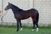 AVAILABLE | Domesday-Lady Yasmin filly
