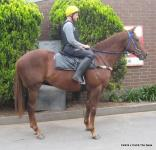 FEATURED HORSE FOR SALE: FALKIRK x COMB THE SEAS