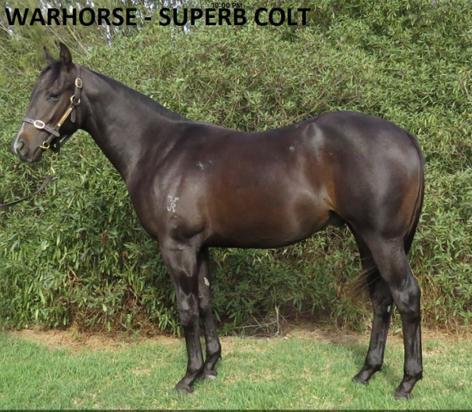 WARHORSE - SUPERB Colt