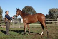NEW LISTING - AMADEUS WOLF COLT $875