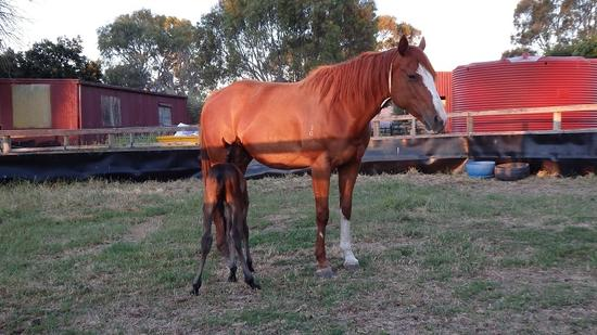 Gold Hoffa Kuroshio colt 16th Nov 2016.1.JPG