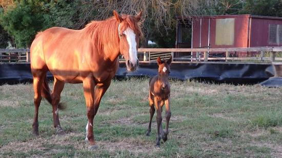 Gold Hoffa Kuroshio colt 16th Nov 2016.JPG