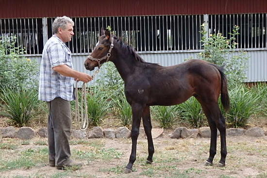 Kuroshio Gold Hoffa colt 16 March 2017.JPG