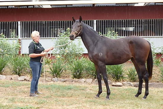 Domesday Brown Black Filly