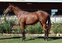 Street Boss Bay Yearling Filly