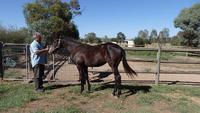 Skilled Countess Creed Black Filly