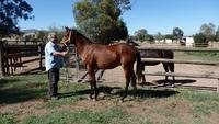 Street Boss Precious Jewel Bay Filly