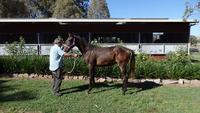 Domesday Sure Of Heart Bay Gelding