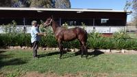 Domesday Rained In Bay Gelding
