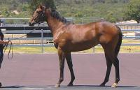 Blackfriars/Frilly Knickers 1 year old Bay Filly