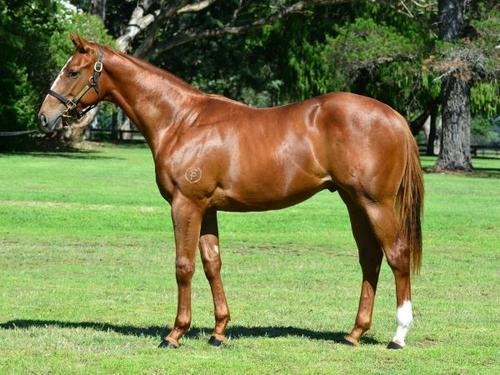 Magic Millions NICCONI Colt For Sale