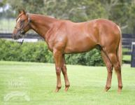 Fabulous Colt by Brilliant speed Sire 'Snitzel' - heading to Magic Millions