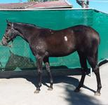 SHARES AVAILABLE BEL ESPRIT X GIRLZONE FILLY