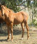 Super Zupaone Weanling Colt for Sale