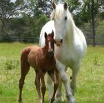 Foster Mare Required at Tatura for Orphan foal 1st Oct 13