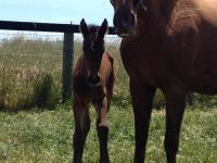 Latest Hollylodge Foal