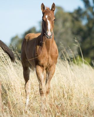 Von Costa De Hero from Sauvete colt