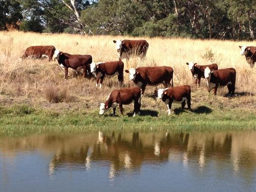 Hollylodge Poll Herefords