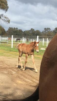 Reward for Effort colt at Hollylodge