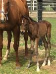 First foal by NOSTRADAMUS born at Hollylodge
