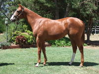 Inglis prem 2 sale Lot 595 Squamosa x Sandon's Dolly filly