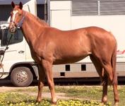 READY TO RUN 2YO FILLY FOR SALE