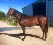 EXCITING 2YO NICCONI COLT FOR SALE
