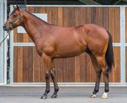 DISSIDENT x MISS MIDDLETON Colt secured at Inglis Classic Sales