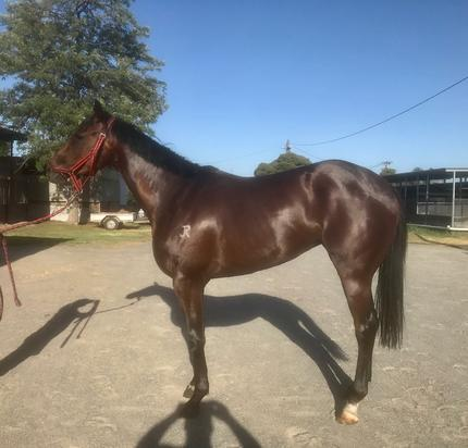 LEASE THIS CRACKING FILLY BY KUROSHIO - ONLY 50% REMAINS