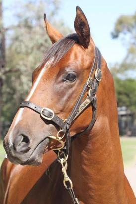 SAVABEEL FILLY WITH SHARES AVAILABLE