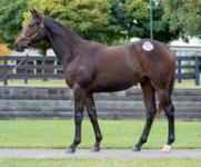 *NEW* The first of our 2015 Inglis Vobis Gold purchases - a cracking TOORAK TOFF COLT