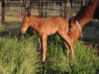 Foal for Delegance