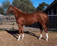 Cracking Chestnut SV Filly by HELMET