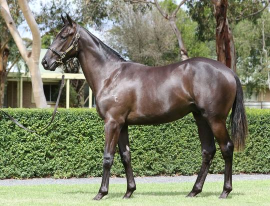 Athletic Black Colt by the World's BEST sire of winners - MORE THAN READY