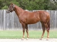 Strong filly by Australian Derby winner STARCRAFT - FOR LEASE